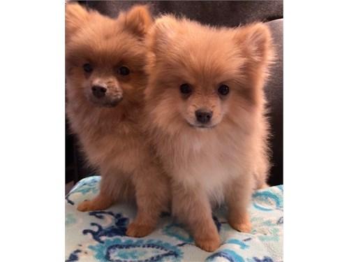 Pomeranian M's 13 weeks