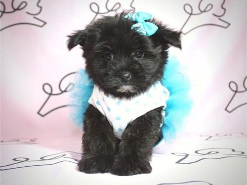 Toy Pomtese Puppy