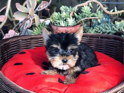 Yorkshire Terrier, Toto