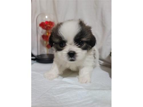 Shih tzu / Pomeranian