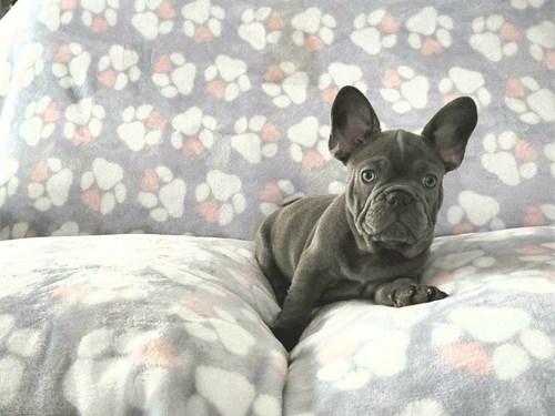 AKC Liliac French Bulldog