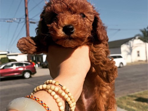 red poodle small size