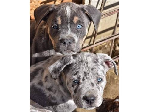 adorable pitbull puppies