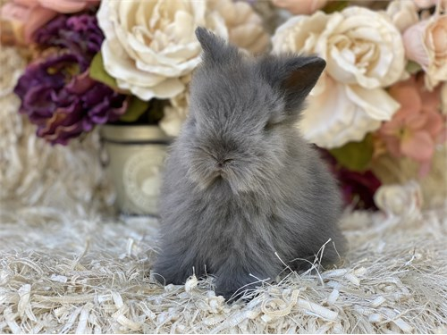 Lionhead baby bunnies