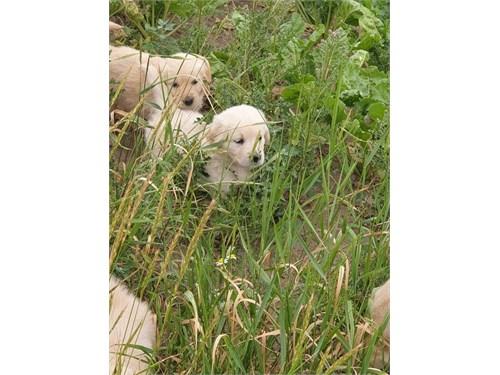 jGol.den Re.tri.ever Pups