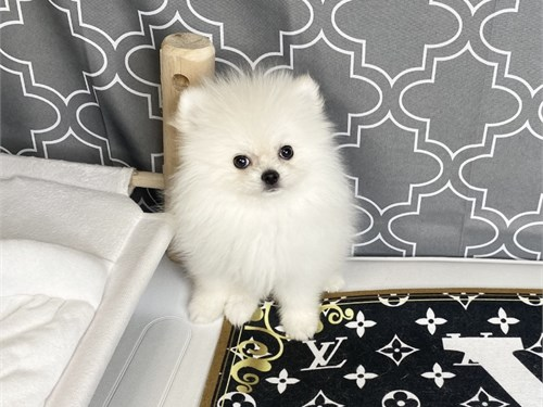 Chanel white Pomeranian