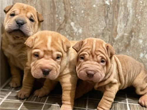 Sharpei Pups for sale