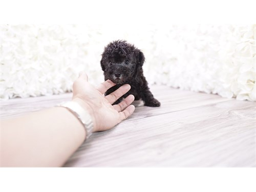 Cute poodle puppy pups