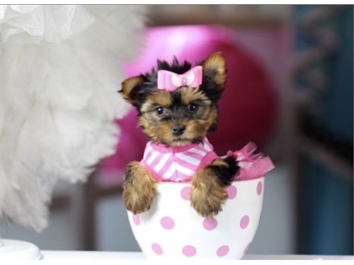 YORKIES PUPPIES SO CUTE