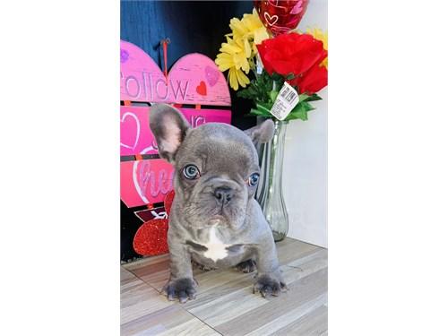 French Bulldog exotic lil