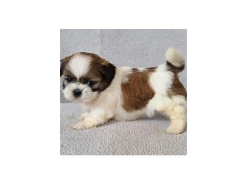 Cute Shih-Tzu Puppies