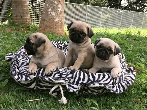 Friendly pug puppies