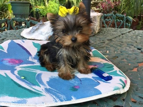 Cuttest Yorkie Pups.