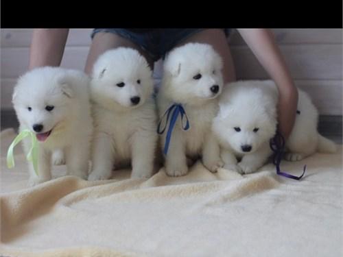 Cute Samoyed  available