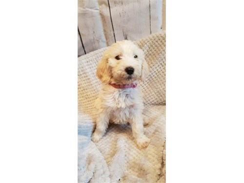 beautiful pup for sale