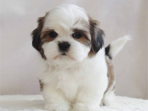 Adorable shih-tzu