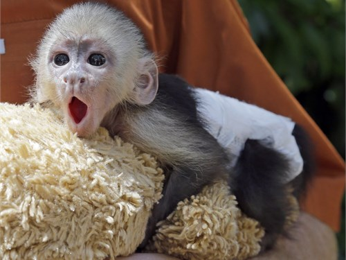Beautiful Capuchin baby m