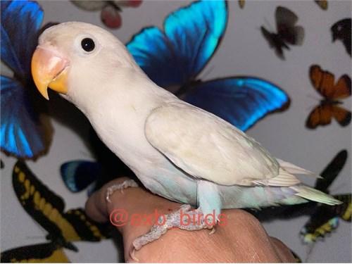 White Fischer Lovebird