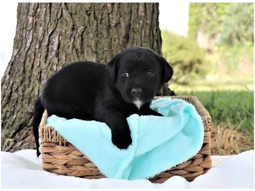 quality Labrador Retrieve