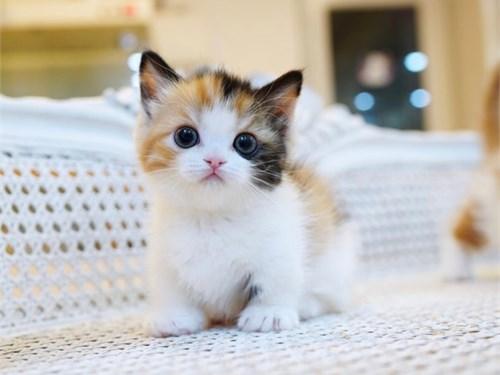 Super Munchkin kittens