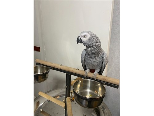 Pair or African Grey