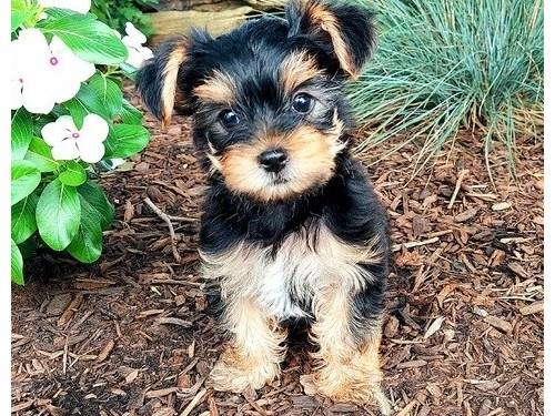York shire terrier puppie