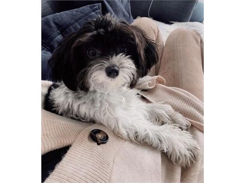 darling Maltipoo puppies