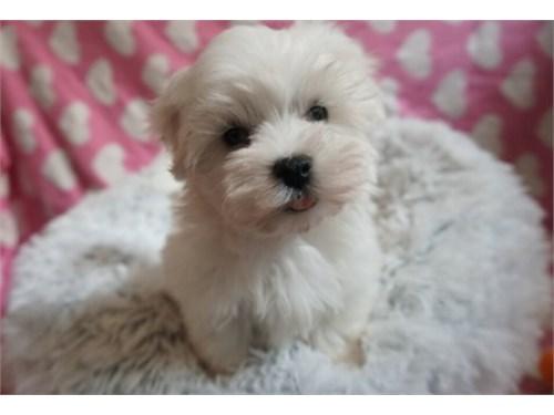Maltipoo Puppy Roxy