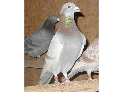 Racing Pigeons Champions!