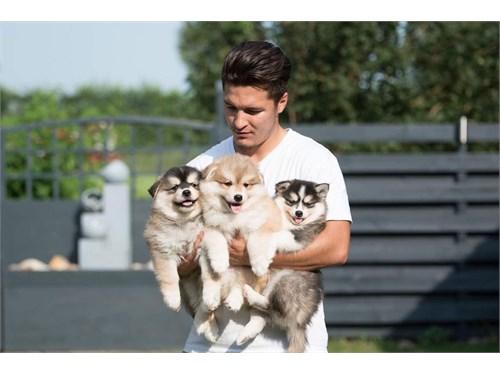 loving pomsky pups