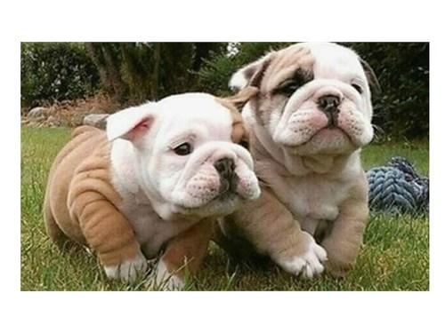 englsih  bulldogs puppies