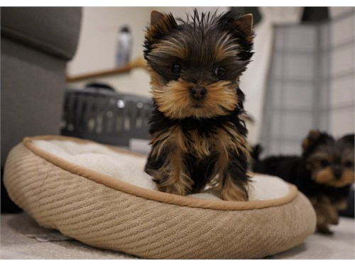 Teacup Yorkie Male