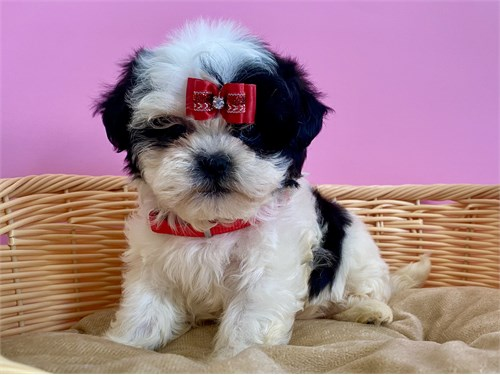 Small Shih Tzu Puppies