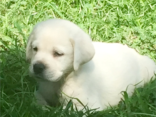 AKC white Lab