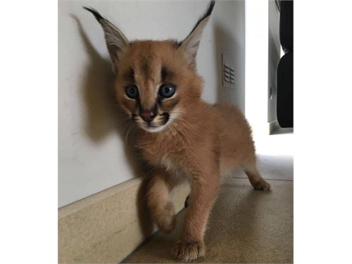 caracal males and females