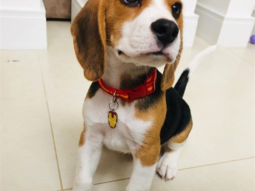 beagles available