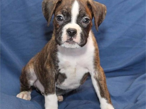 Boxer Puppies for New Hom