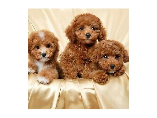 TOY SIZE POODLE PUPS