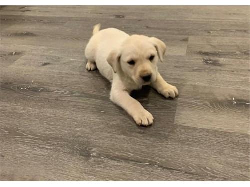 Yellow AKC Labrador Puppy