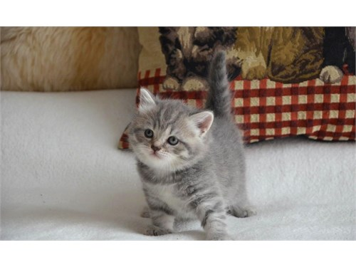 e2we Scottish fold kitten