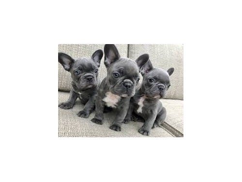 Frenchie Blue french