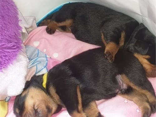 Rottweiler baby available
