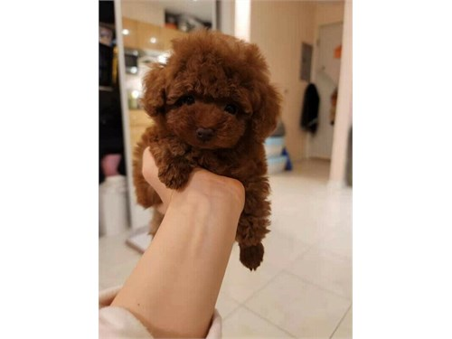 OUTSTANDING toy poodle
