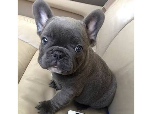 Big-Hearted French Bull