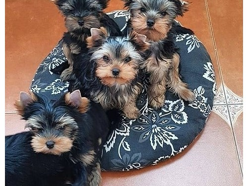 Quality Yorkie puppies