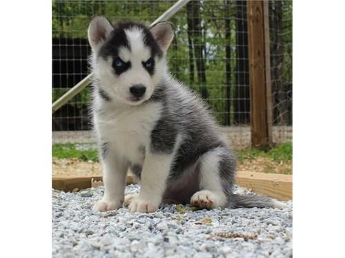 Siberrian Husky Puppies