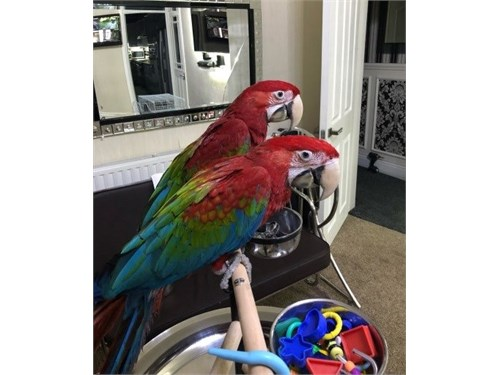 Green wing macaw ParrotGW
