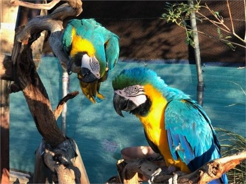 blue and gold macaw parro