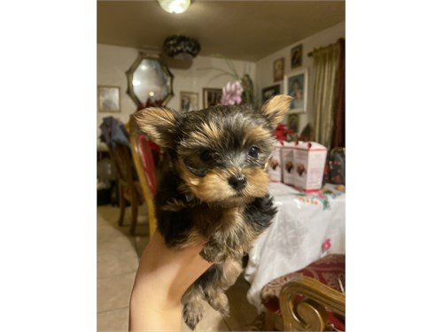 MicroTeacup Yorkie Female