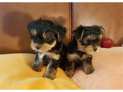 Cute T-cup Yorkie Pups